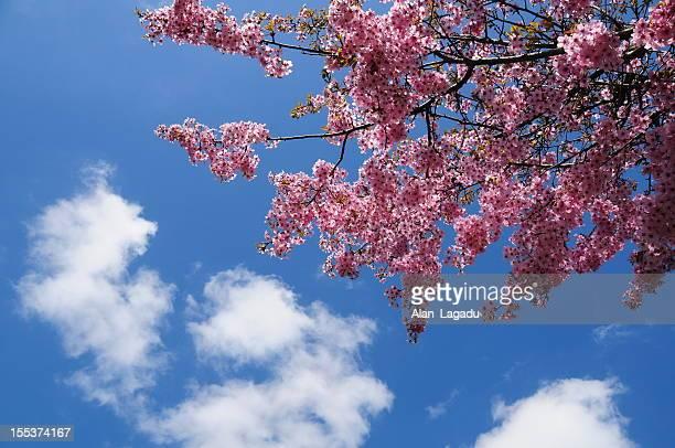 桜、ジャージー。