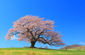 Iwate Prefecture cherry blossom meadow