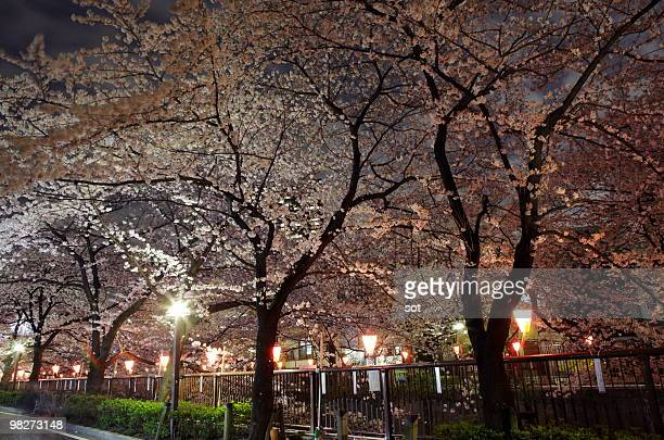 Cherry blossom of Meguro River at night