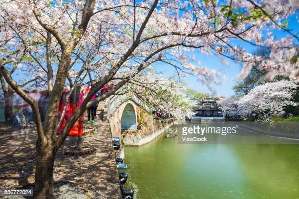 Cherry Blossom of Turtle Head Islet in Taihu Lake,Wuxi City,Jiangsu Province,China