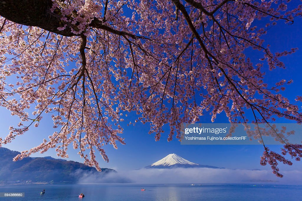 Cherry blossom on a branch, with Mount Fuji in the distant