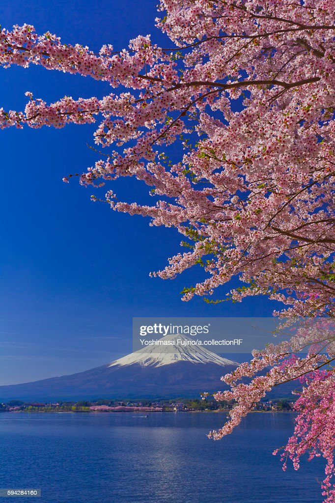 Cherry blossom on branch, with Mount Fuji in the distant