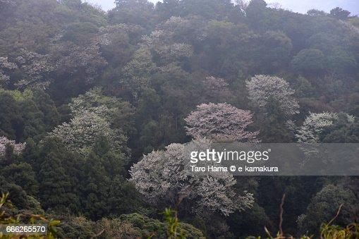 Cherry blossom on mountain : ストックフォト