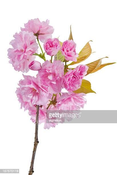 Fleur de cerisier sur blanc