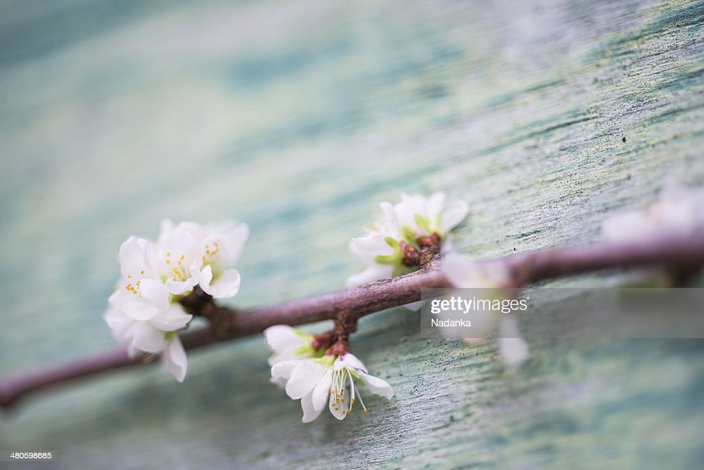 Cherry blossom on wooden background : Stock Photo