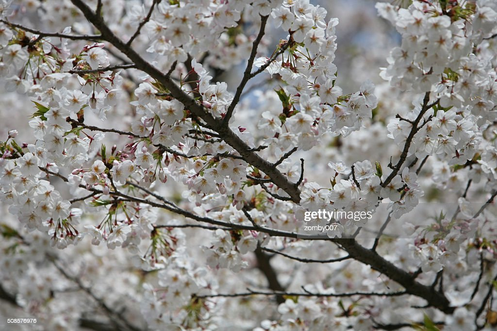 Cherry blossom or Sakura blooming in Japan : Stock Photo