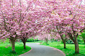 Winding Path through a Row of Cherry Trees in Blossom