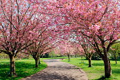 Cherry Blossom Pathway in a Country Park