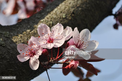 cherry Blossom : Stock Photo