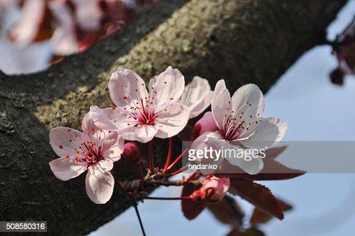 Kirschblüte : Stock-Foto