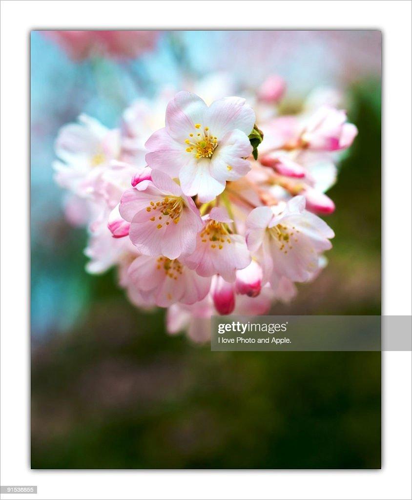 Cherry blossom : Stock Photo