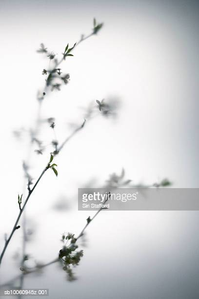 Cherry blossom (differential focus)