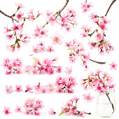 Cherry blossom sakura flower isolated sets