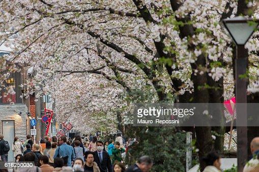 Cherry Blossom season at Nakameguro, Tokyo, Japan : Foto de stock