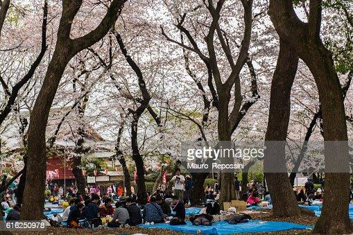 Cherry Blossom season at Ueno Park, Tokyo, Japan : Stock Photo