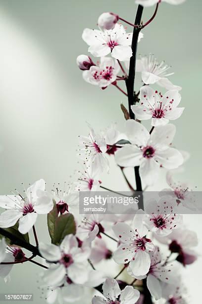 Cherry Blossom Springtime