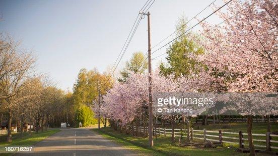 Cherry Blossom Street : Stock Photo