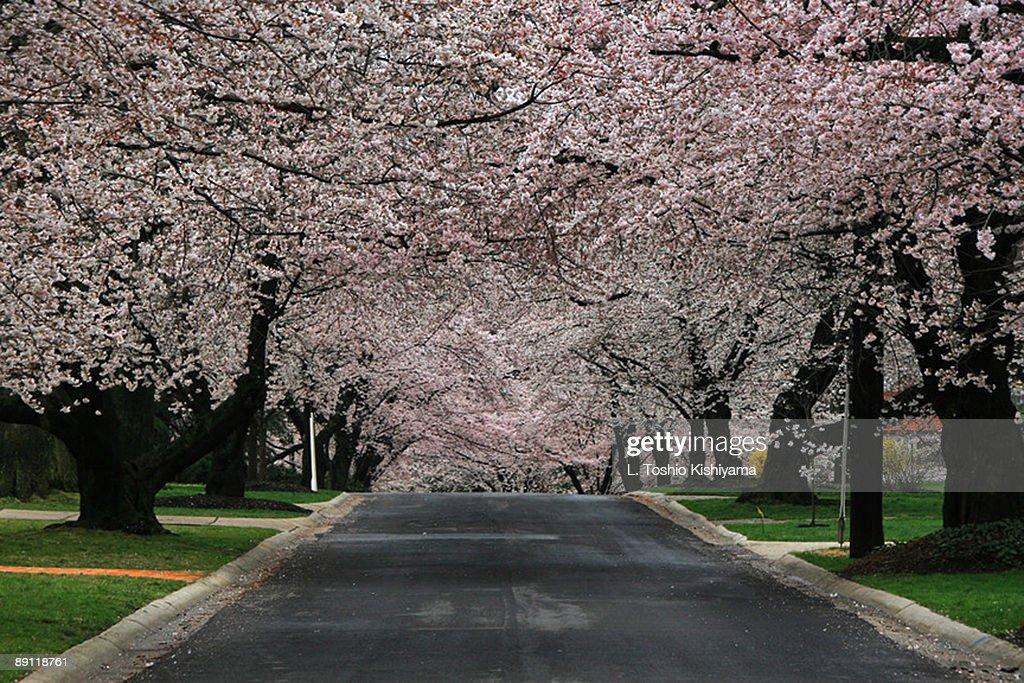 Cherry Blossom Street