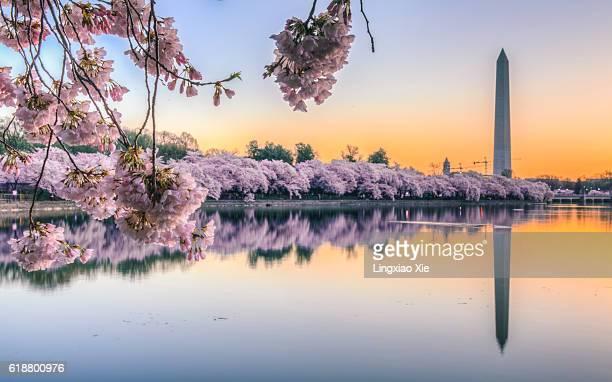 Cherry Blossom Sunrise over Tidal Basin