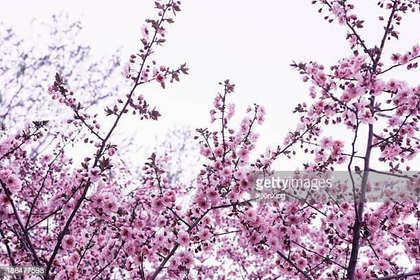 Cherry blossom tree and branches against the sky, outdoors, Beijing