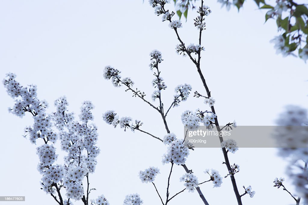 Cherry blossom tree and branches against the sky outdoors beijing stock photo getty images - Romanian cherry tree varieties ...