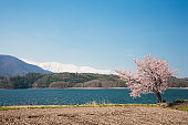 Cherry Blossom Tree and Lake, Snowcapped Mountains in the Background