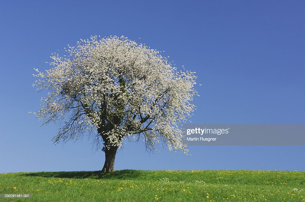 Cherry blossom tree in bloom : Stock Photo