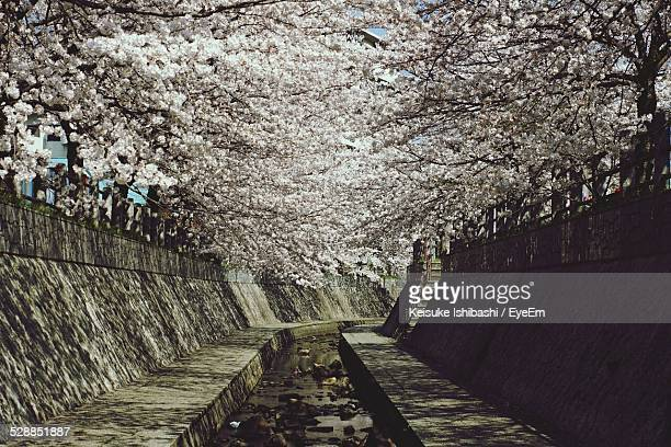 Cherry Blossom Tree Over Canal