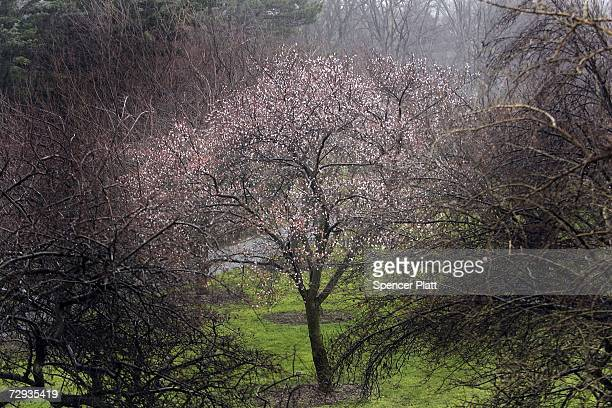 A cherry blossom tree that has bloomed at the Brooklyn Botanic Garden stands amidst bare trees on an unusually mild day January 5 2007 in New York...
