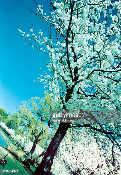 Cherry blossom trees and willow trees in spring, New Rochelle, New York