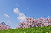 Cherry Blossom Trees at Mogami Riverbank