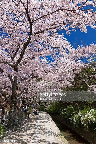 Cherry Blossom trees at Philosopher's Walk