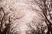 Cherry blossom trees on avenue