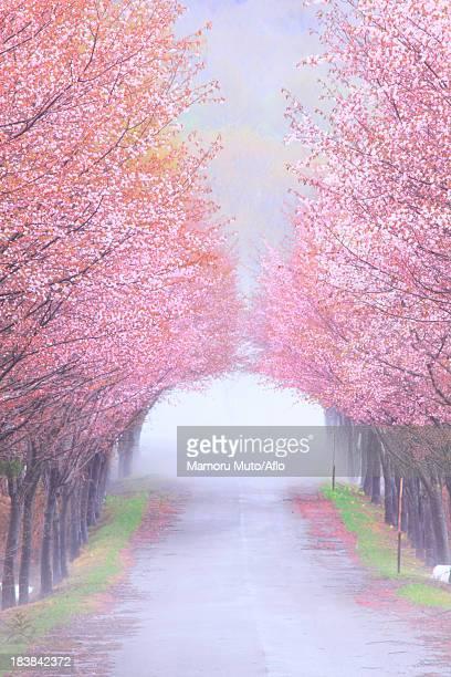 Cherry blossom tunnel, Aomori Prefecture