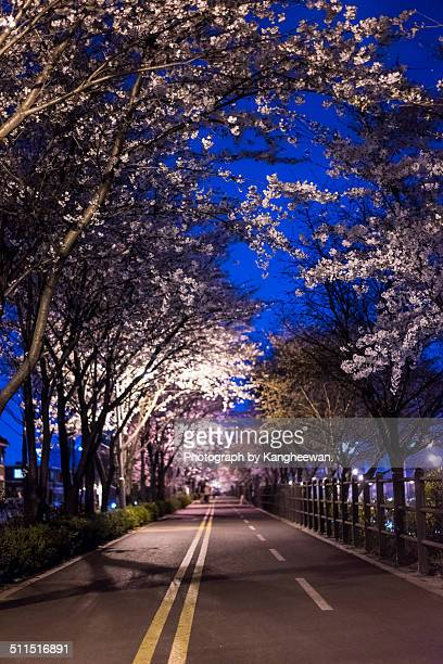 Cherry blossom walkway