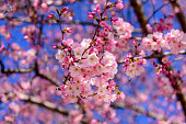 Cherry Blossom trees, Nature and Spring time background. Pink Sakura with Blue sky, Washington DC