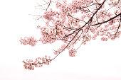 Cherry Blossom with Soft focus, Sakura season in japan,Background