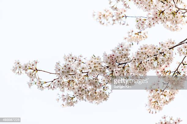 Cherry blossom with white background.