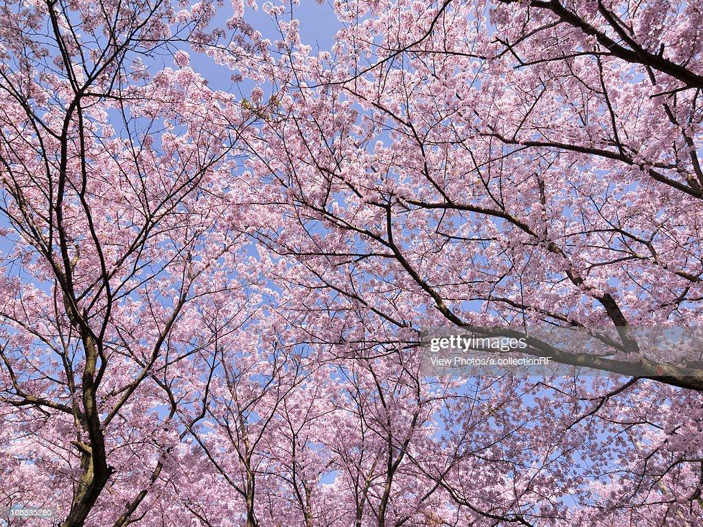 Cherry blossoms, Aichi Prefecture, Honshu, Japan