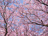 Cherry blossoms, Aichi Prefecture, Honshu, Japan