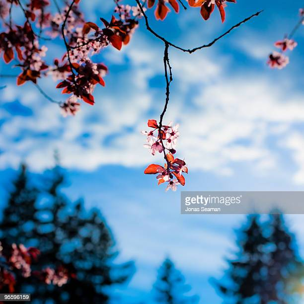 Cherry Blossoms and Blue Sky.