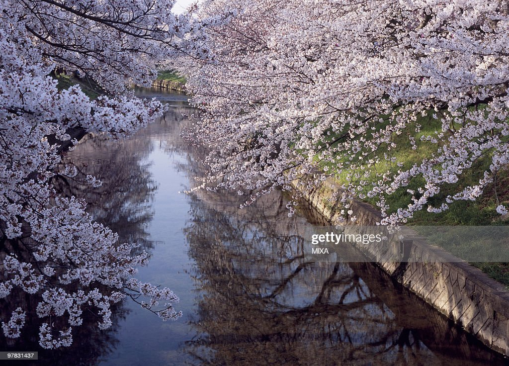 Cherry Blossoms and Gojo River, Iwakura, Aichi, Japan