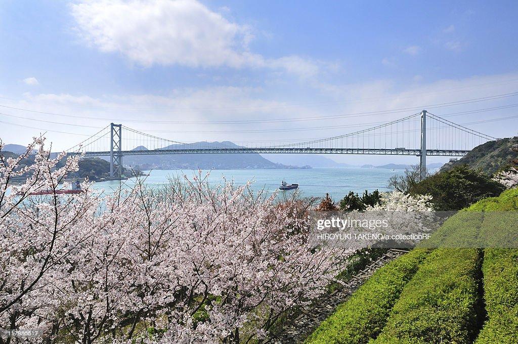 Cherry Blossoms and Kanmonkyo Bridge