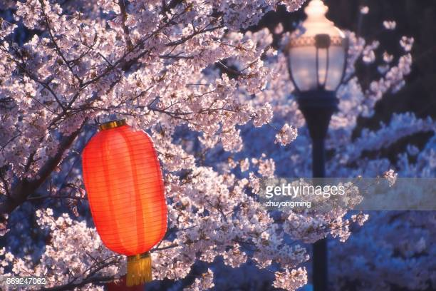 Cherry blossoms and lantern