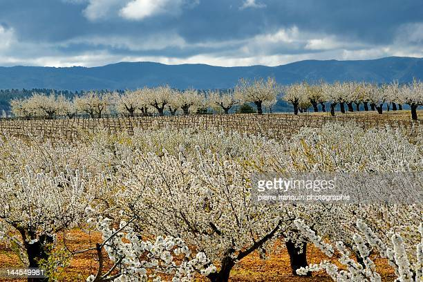 Cherry blossoms and ochres of Luberon