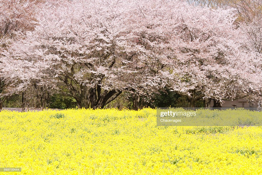 Cherry blossoms and oilseed rape, Tokyo Prefecture, Japan