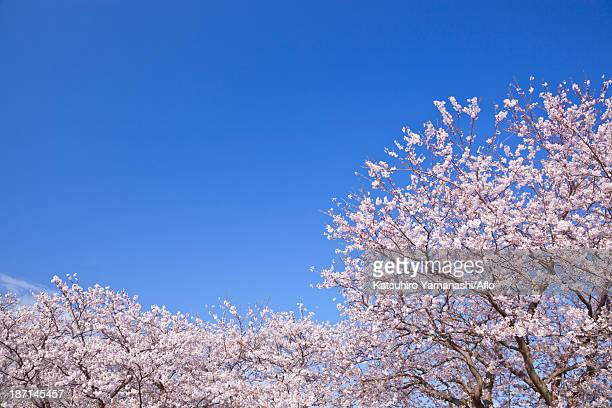 Cherry blossoms and sky