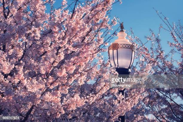 Cherry blossoms and Street Light