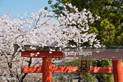 Cherry Blossoms and Torii