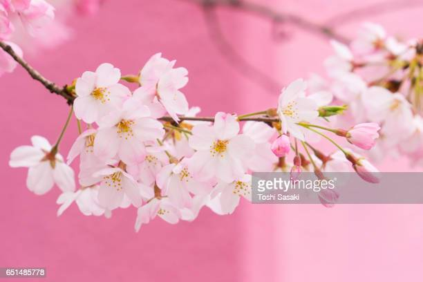 Cherry blossoms are in bloom beside the Pink color wall, which are surrounded by soft spring sunlight at Tokyo, Japan.